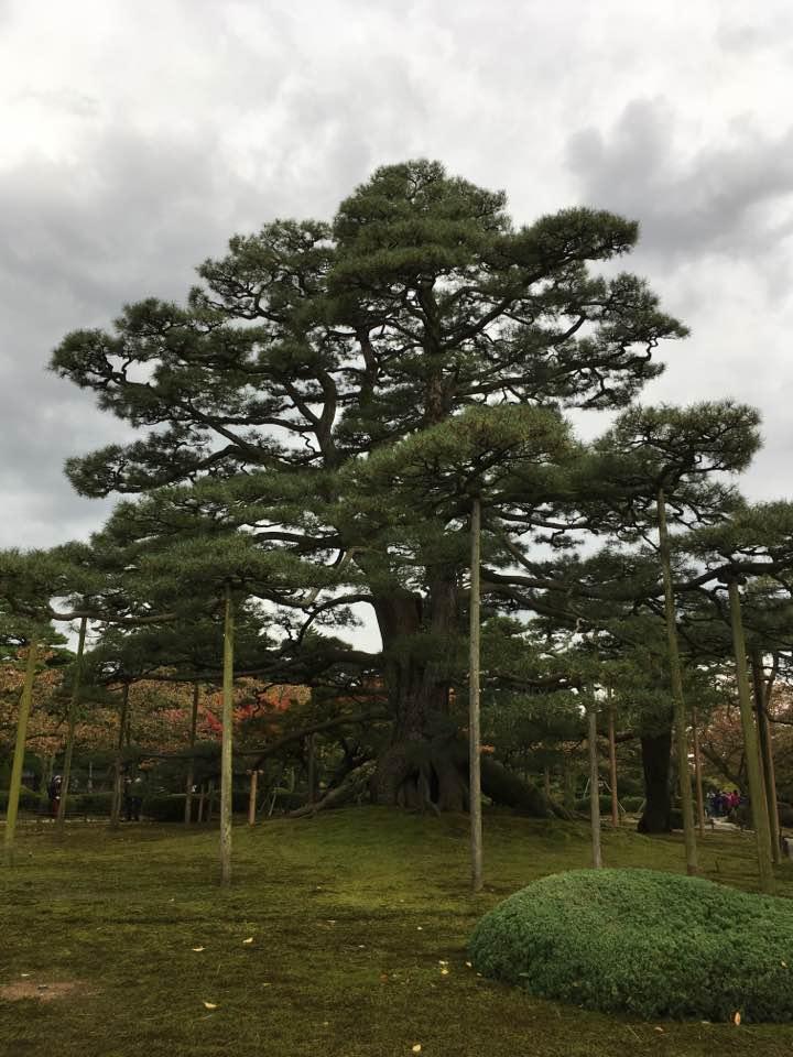 tree with support Kenrokuen Gillian.jpg